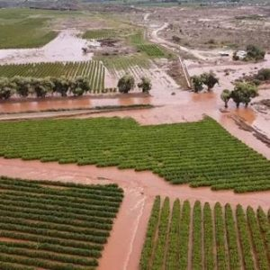 Heavy rain damages Orange River grape crop. Picture: Alwyn Dippenaar.