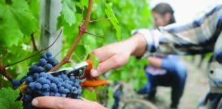 The South African wine industry expects a strong harvest despite concerns about its future, and looming court action. Photo: Supplied/Food For Mzansi