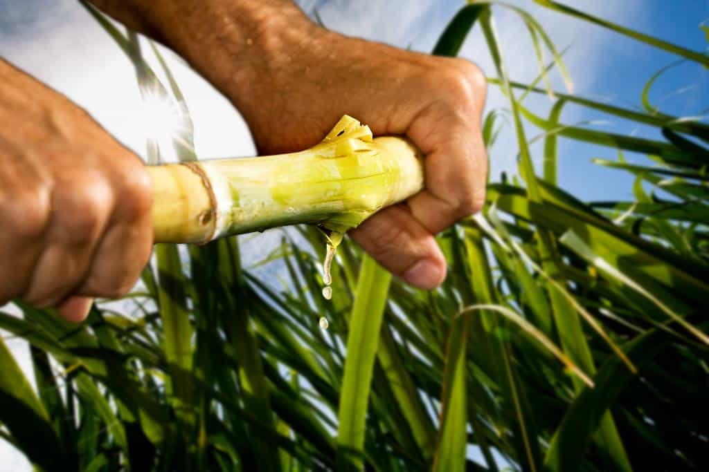SA Canegrowers say it is concerned about the future of the 21 000 small-scale growers, 65 000 farmworkers, 270 000 indirect jobs dependent on the survival of the South African sugarcane industry. Photo: Michael Chambers