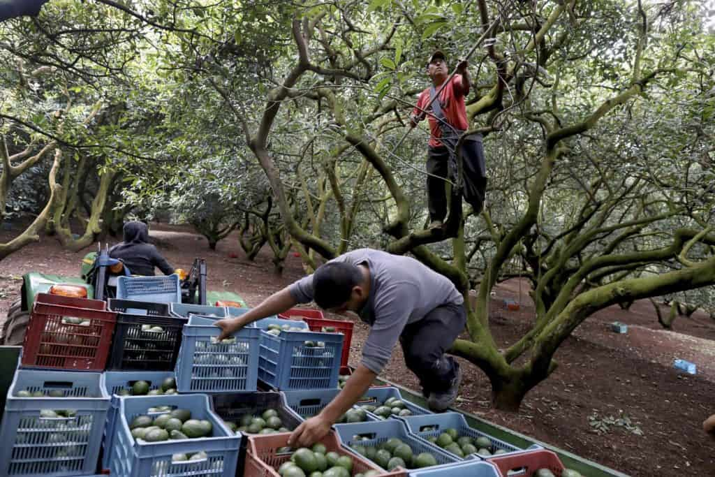 Yes, you are really looking at an actual picture of an armed guard protecting Mexican farmworkers from drug gangs who seek control of the country's avocado industry. Photo: Gary Coronado/Los Angeles Times