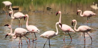 Experts are trying to determine the cause of death of at least 35 water birds in the Kamfers Dam, a natural heritage site in Kimberley in the Northern Cape. While the dam is also known for its Lesser Flamingoes, early indications are that these birds are not affected. Photo: Laine and Dirk Bird Photography
