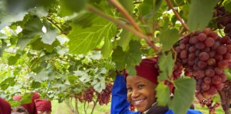 The Schoonbee Landgoed pioneered table grape production in Limpopo in 1994 with the first real commercial vineyards in the Loskop valley. Photo: Schoonbee Landgoed
