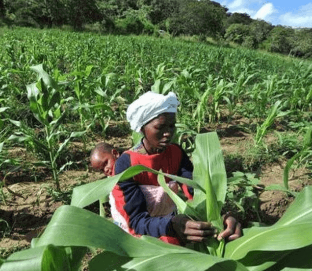 Africa is increasingly opening the door to genetically modified crop cultivation. Photo: Genetic Literacy Project