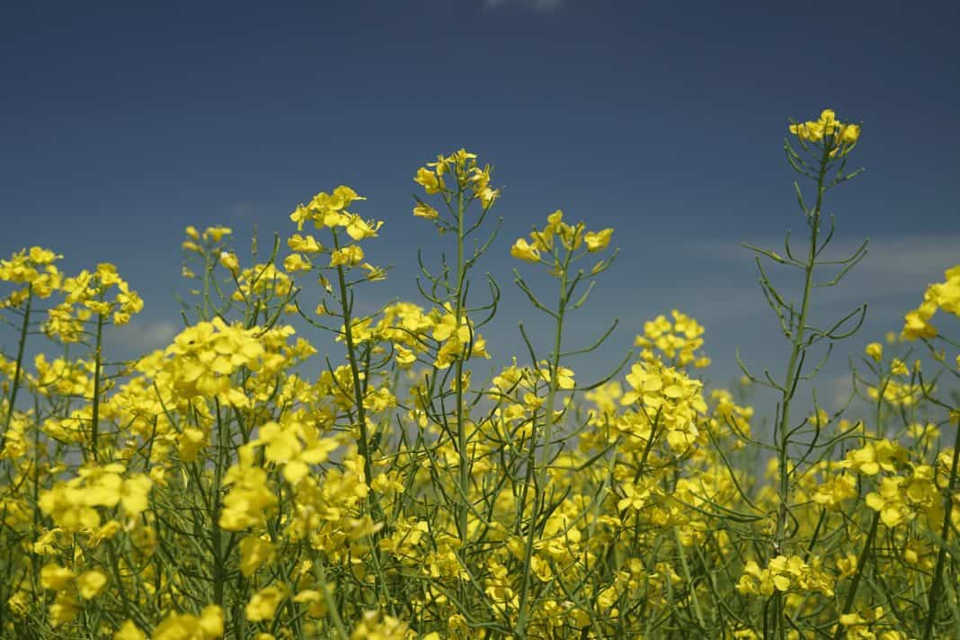 With more than enough to supply the local market, SA's canola oil industry has its eyes on international market opportunities. Photo: Supplied/Unsplash