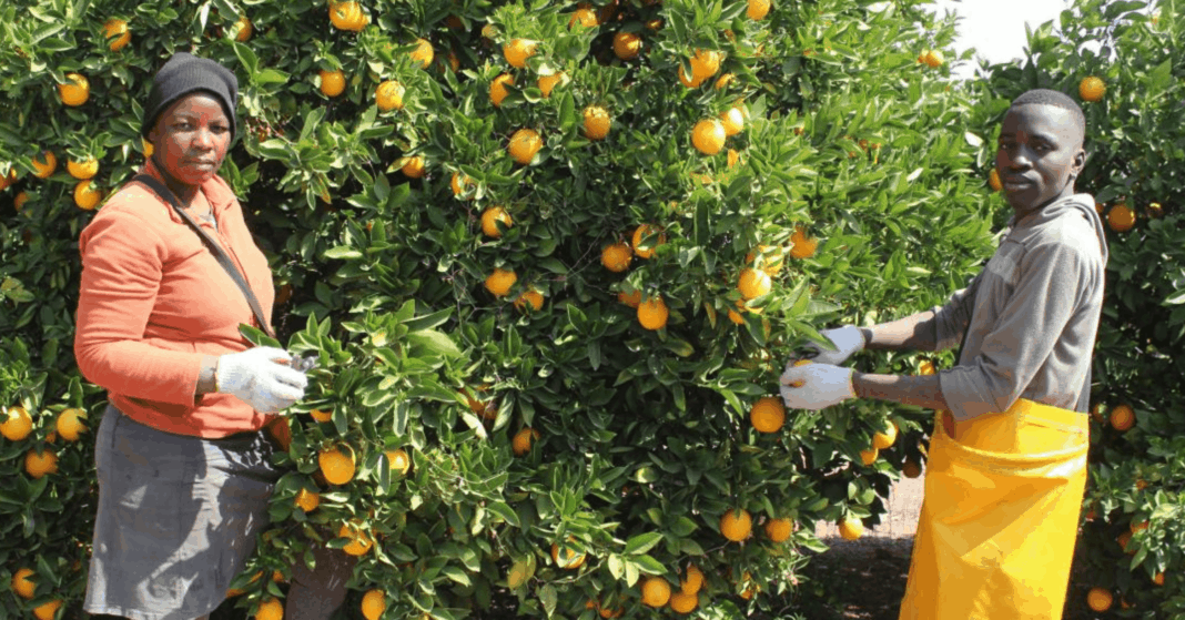 The Batlhako Temo Co-operative in North West are claiming a segment of the juicy citrus export market after receiving funding from the North West government. Photo: Supplied