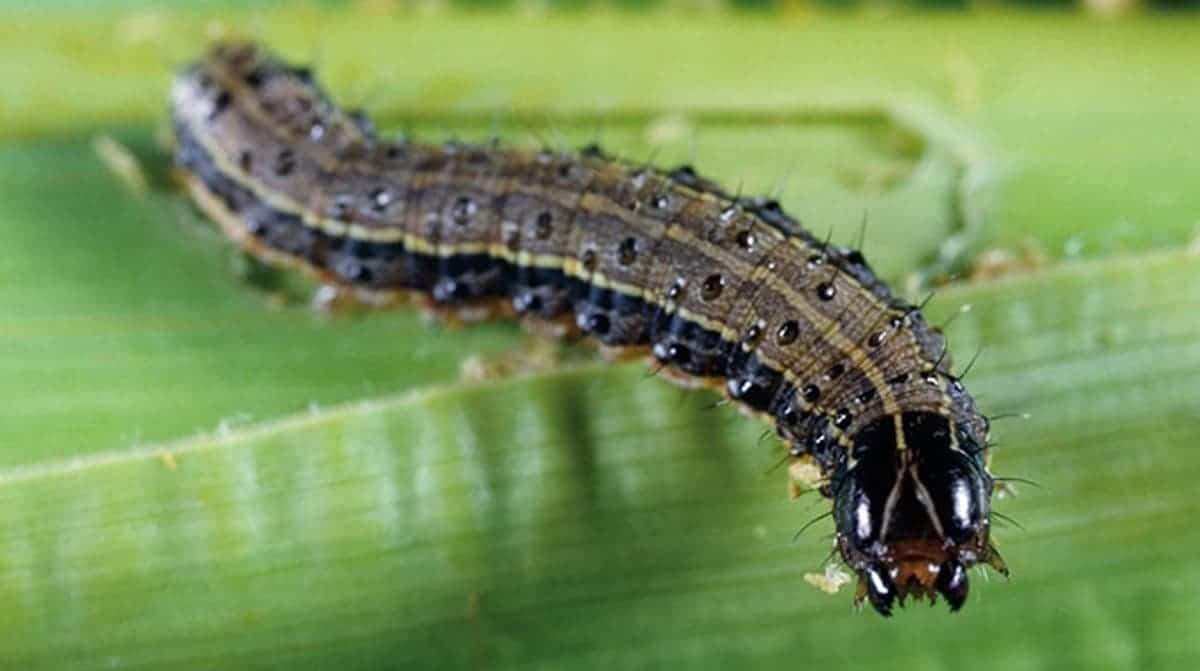 It might be called the Fall Armyworm, but actually it's at the caterpillar stage of moths. When the pest have ravaged a crop, they are said to march along the ground like an army of worms in search of more food. Photo: Supplied