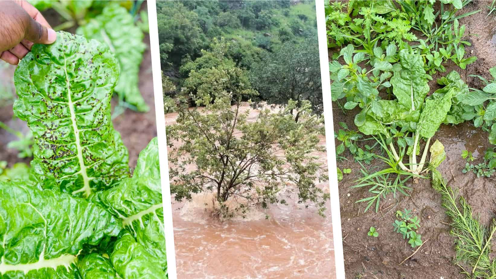 Mpumalanga and KwaZulu-Natal fear severe crop damage in the wake of tropical storm Eloise. Photos: Supplied/Food For Mzansi