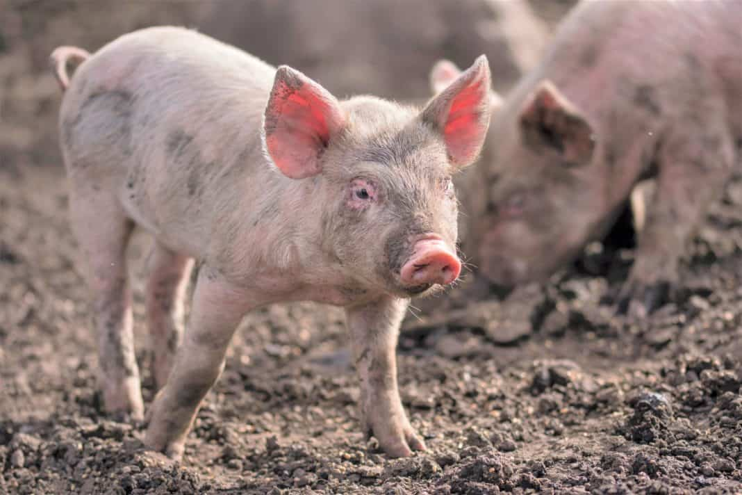The dynamics of small pig farmers' operations will be the focus of at least three SAPPO research studies this year. Photo: Supplied/unsplash