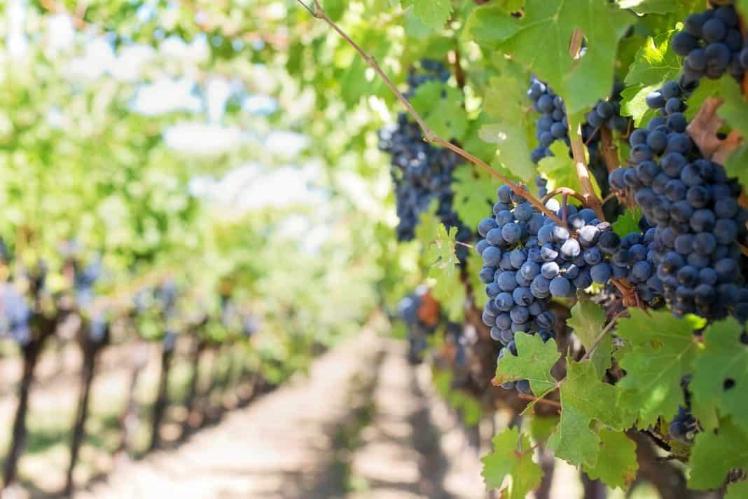 While the wine industry battles to survive under on and off ban on alcohol sales, not all wine producers are against governments efforts to save lives. Photo: Pixabay.