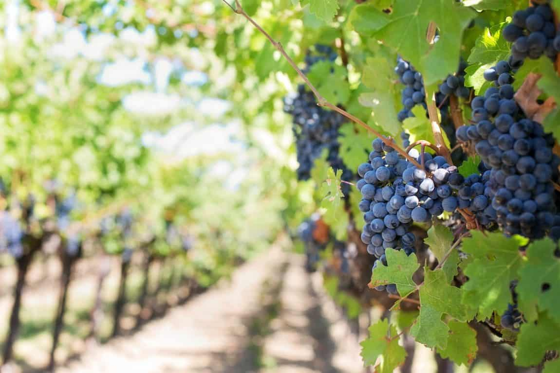 While the wine industry battles to survive under a renewed ban on alcohol sales, Western Cape stakeholders are trying their best to bring wine back. Photo: Pixabay/Food For Mzansi