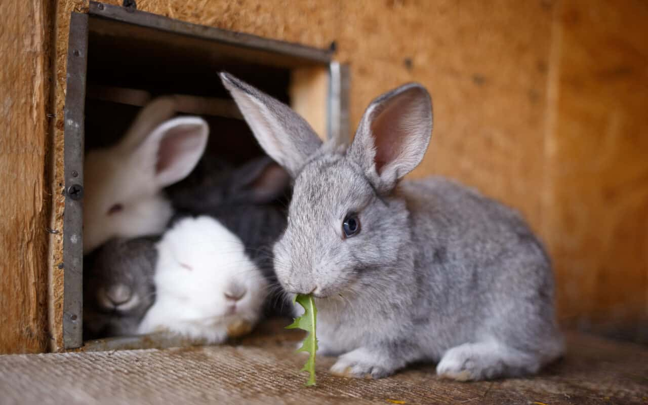 Rabbit farming in South Africa involves the breeding of rabbits for the meat industry as well as for the use of fur and wool. Photo: Supplied