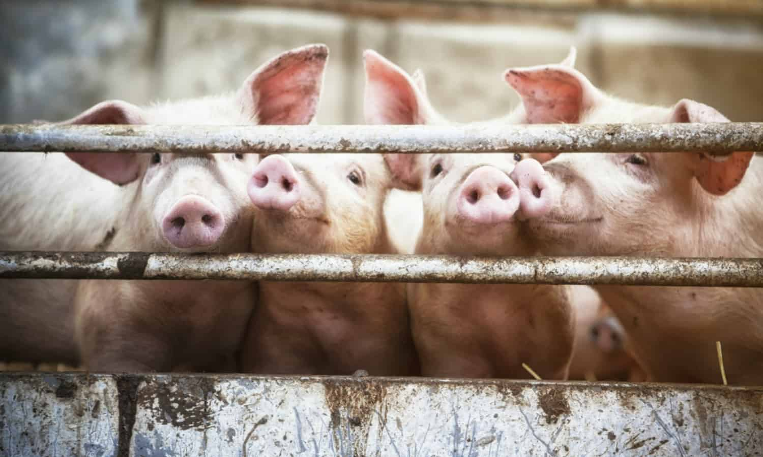 Most of the 101 African swine fever outbreaks recorded since April 2019 were in the Western Cape and Gauteng. Photo: Supplied/Food For Mzansi