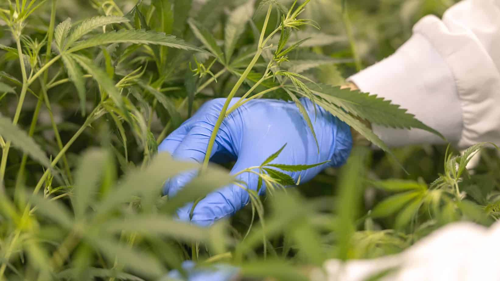 As the South African cannabis market slowly opens up, Cheeba Africa CEO Trenton Birch warns small-scale producers to be wary of the