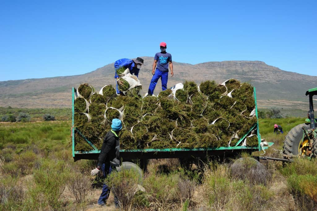 Farmworkers at Elandsfontein in Citrusdal harvesting Rooibos. Photo: Henk Kruger/African News Agency (ANA)