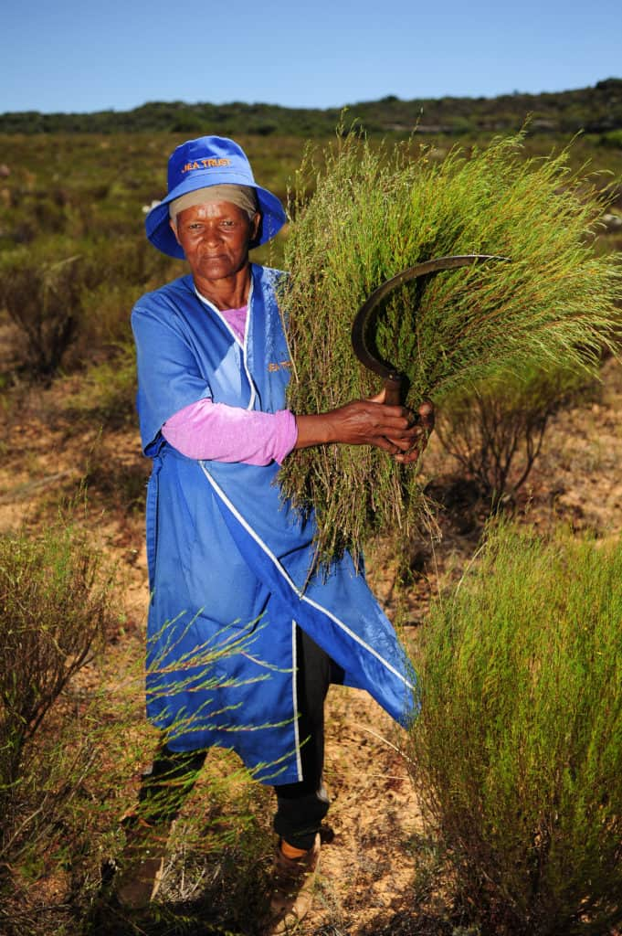Anna Brand (57) harvesting eooibos at Elandsfontein farm in Citrusdal. Photo: Henk Kruger/African News Agency (ANA)