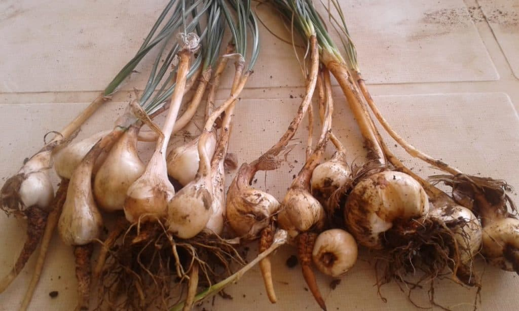 Saffron corms (bulbs) are planted and cultivated before harvesting the saffron threads. Photo: Supplied/Food For Mzansi