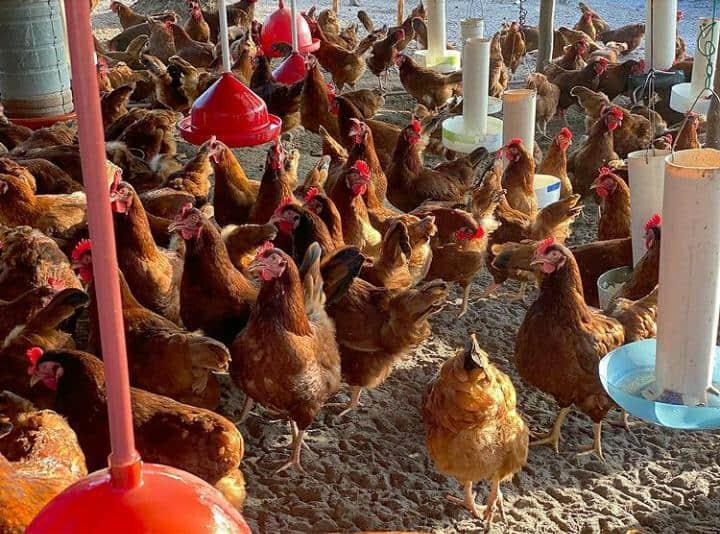 start your own chicken farm