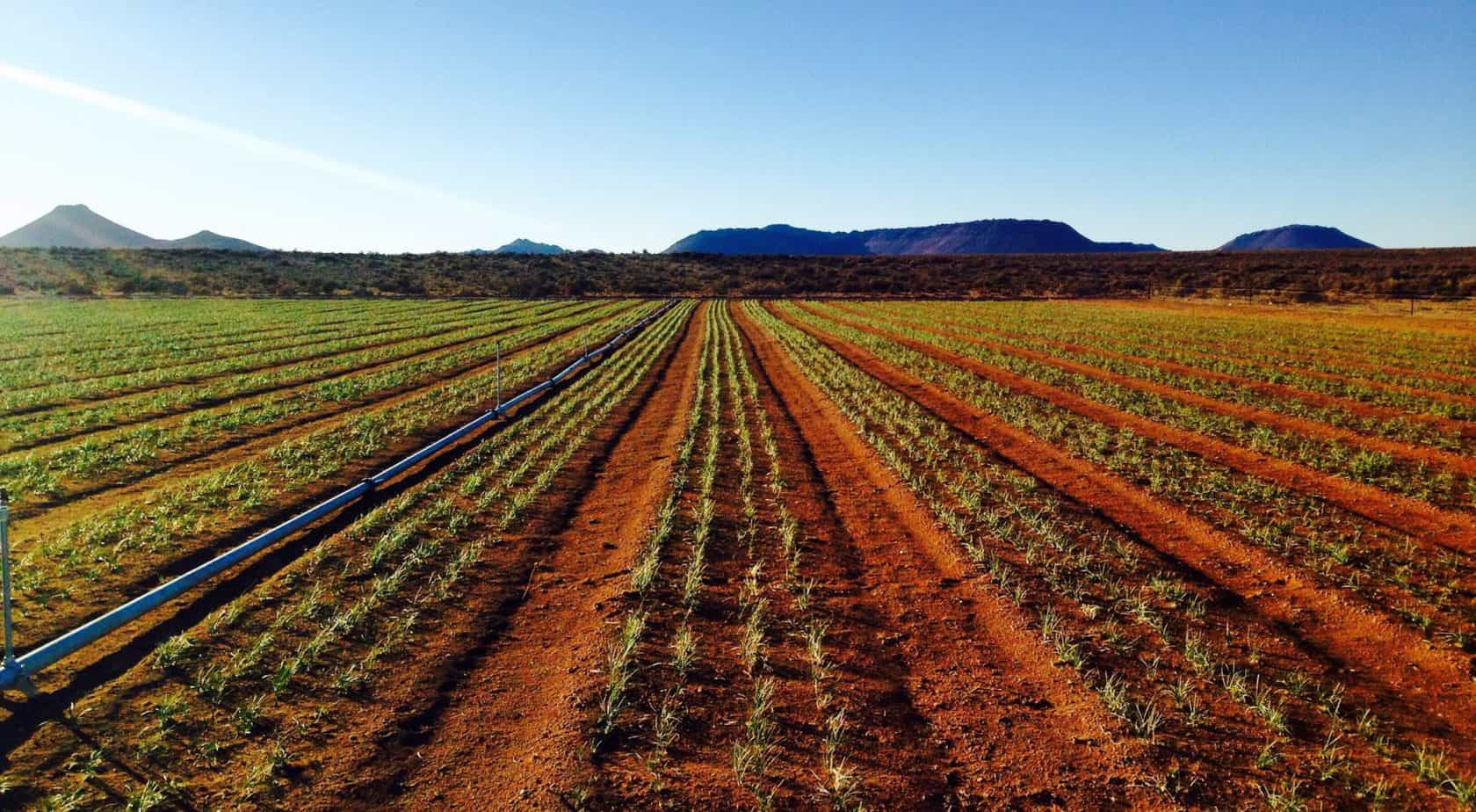 """No, you are not looking at a saffron field in Tehran. Iran might be the largest producer of saffron, but the """"red gold"""" is fast gaining popularity in South Africa too. Photo: Supplied/Food For Mzansi"""