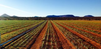 "No, you are not looking at a saffron field in Tehran. Iran might be the largest producer of saffron, but the ""red gold"" is fast gaining popularity in South Africa too. Photo: Supplied/Food For Mzansi"