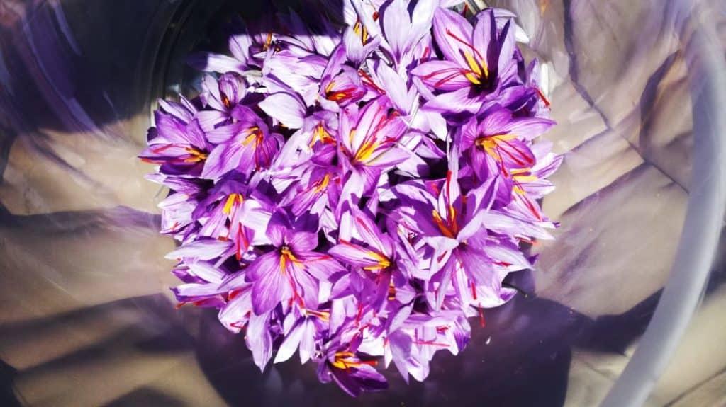 Around 150 flowers will produce just one gram of saffron. Saffron crocuses flower in autumn. Photo: Supplied/Food For Mzansi