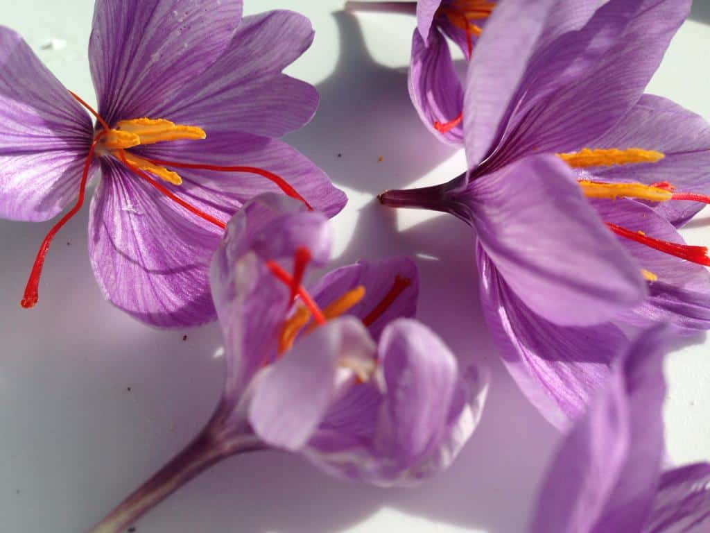 The bright red-orange threads you get when you buy saffron are actually the stigmas, or female portion, of the Saffron Crocus flowers. Photo: Supplied/Food For Mzansi