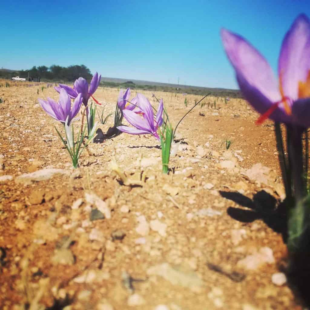The art of cultivating saffron in local conditions was perfected in the Northern Cape. Photo: Supplied/Food For Mzansi
