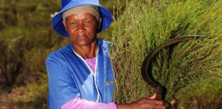 Anna Brandt harvests rooibos at Elandsfontein farm in Citrusdal in the Western Cape. Photo: African News Agency (ANA)