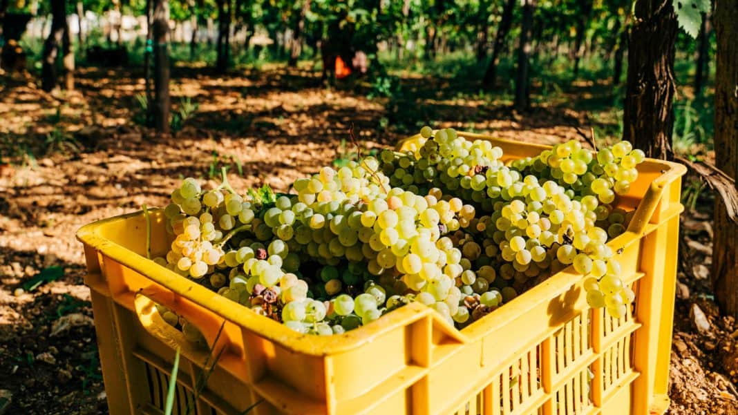 South Africa's table grape crop estimates are back on track despite delays. Photo: Supplied/Unsplash