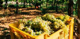 South Africa's table grape crop estimates are back on track despite delays. Photo: Supplied/Unsplash