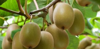Chinese consumers are willing to pay steep prices for Mzansi's gold kiwifruit. Photo: Supplied/Food For Mzansi