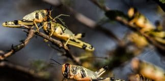More brown locust swarms are expected to make their way to the interior of the Northern Cape this season. Photo: Supplied/Food For Mzansi