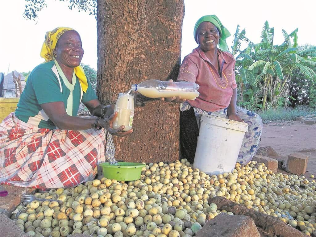 Each year a stream of marula beer connoisseurs make a pilgrimage to the far reaches of Limpopo to visit their favourite drinking spots. Photo: Supplied/Nina Geraghty