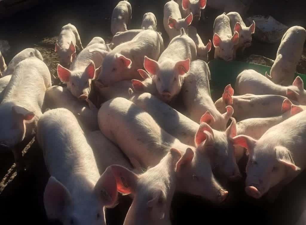pig farming tips