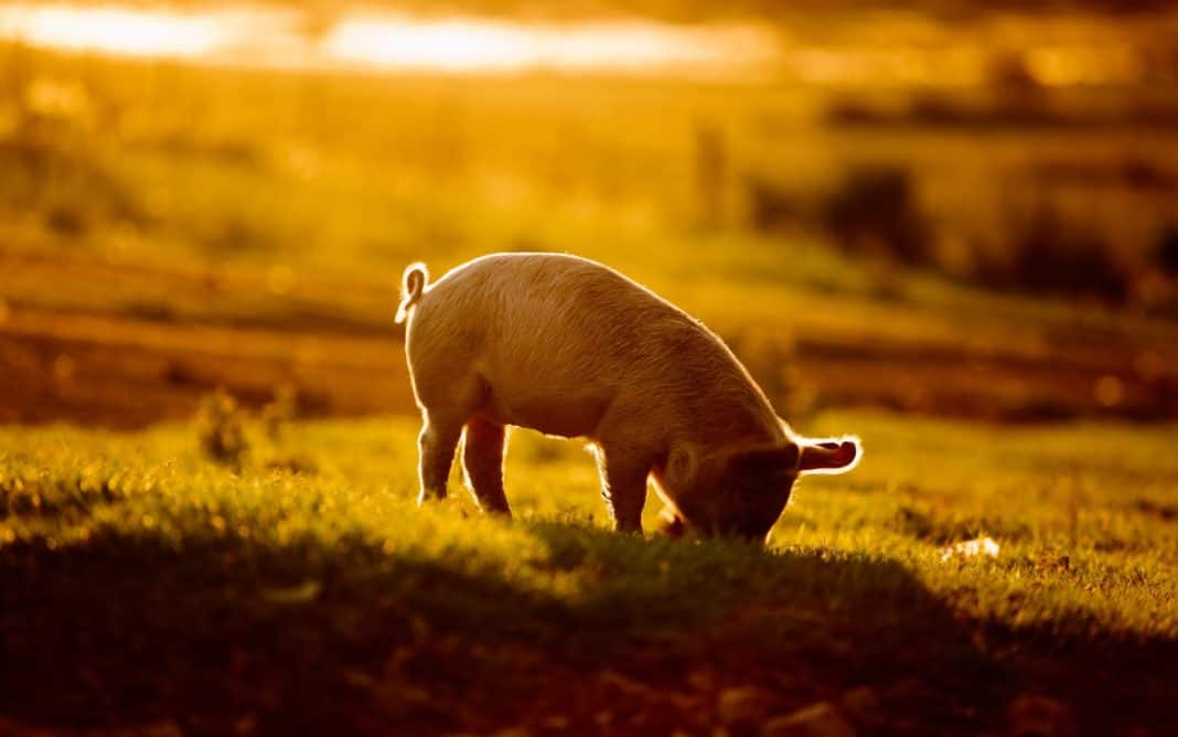 Black farmers - The highly respected pig farmer Ivan Cloete could be dragged to court by government if he does not vacate his state-owned land in Darling in the Western Cape today. Photo: Supplied/Food For Mzansi