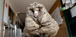 After not being shorn for many years, an Australian sheep named Baarack could barely see when he was found. Photo: Supplied/Edgar's Mission