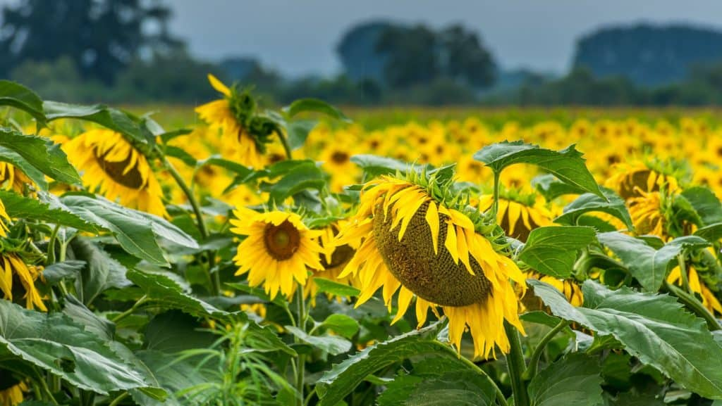 Severe rain in the Free State could affect the yield of sunflowers or even cause the entire field to become unusable. Photo: Supplied/Food For Mzansi