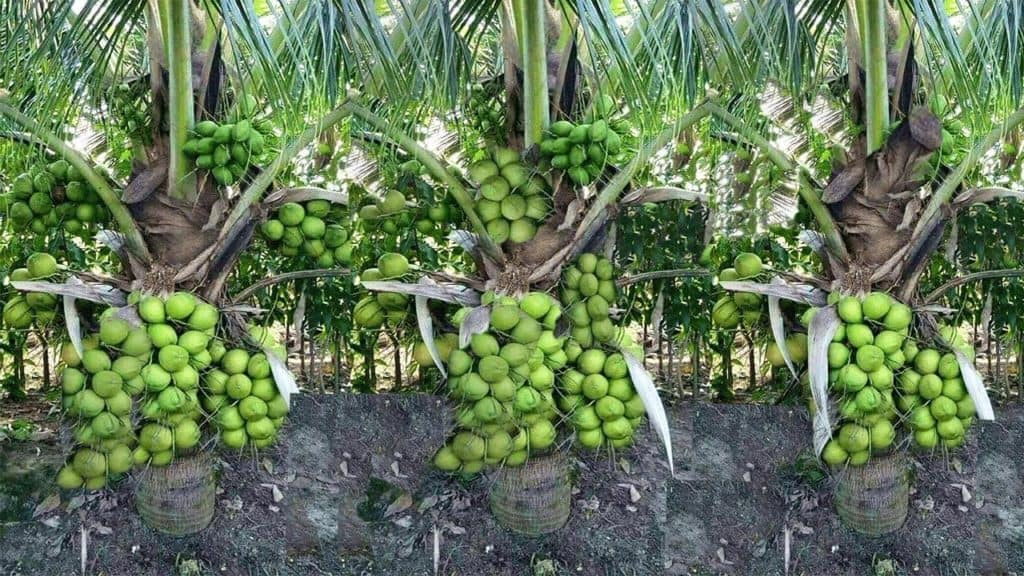 Most commercially grown coconuts are grown by small landowners, unlike other tropical fruits, which are grown on plantations. The harvesting of coconuts occurs on these commercial farms by either climbing the tree using a rope or with the assistance of power operated ladder. Photo: Supplied/Food For Mzansi