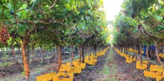 Harvesting of Crimson red grapes taking place on a farm in the Hex Valley. Photo: Supplied/EXSA South Africa