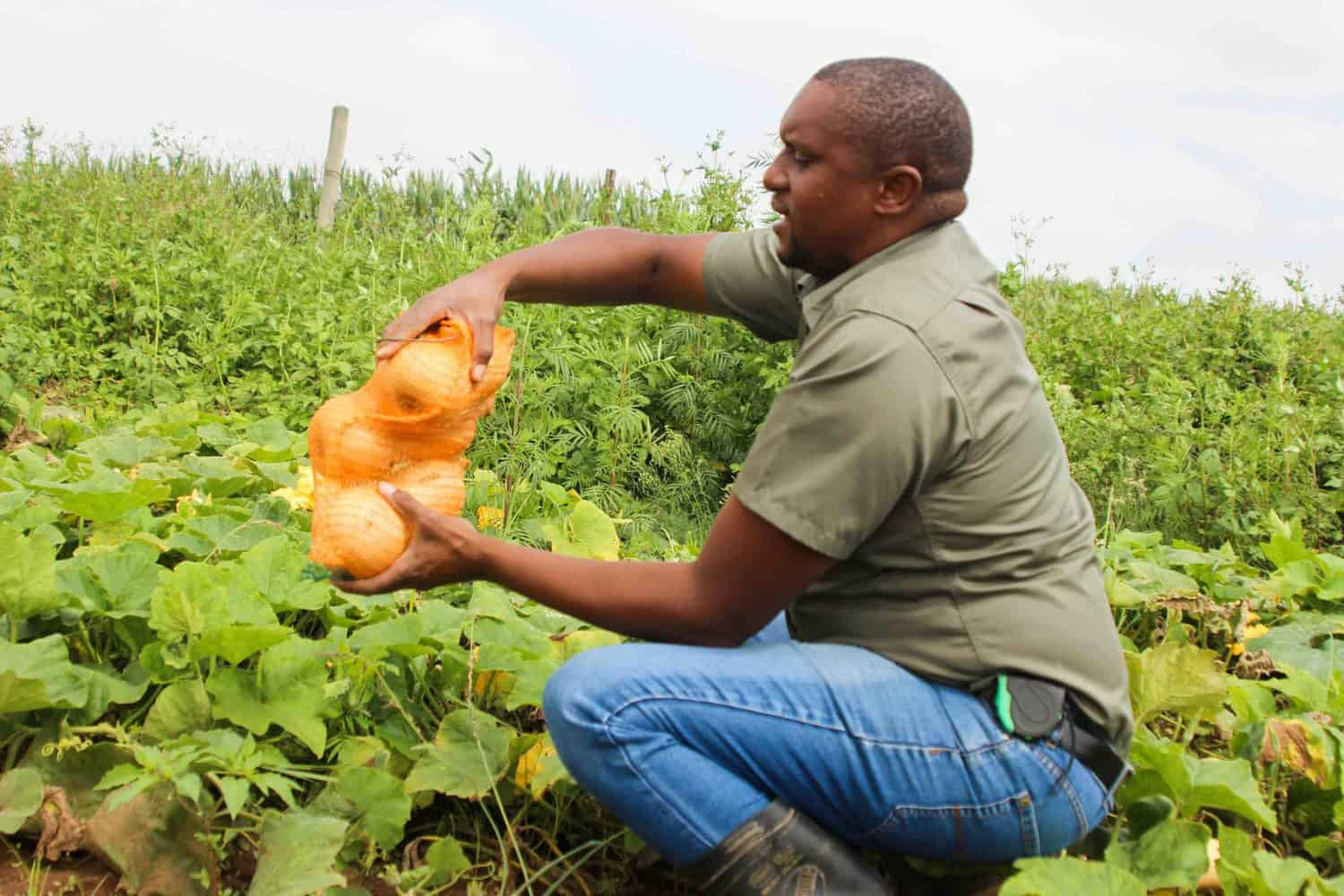Nhlanhla Zuma has planted a variety of pumpkins on his farm, which he says his bees' pollination also become very handy in ensuring the multiplication of his pumpkins produce. Photo: Magnificent Mndebele
