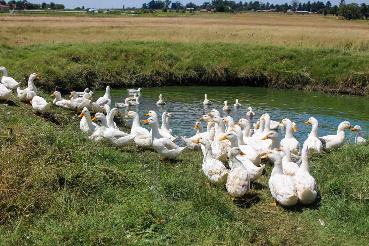 Nhlanhla Zuma's ducks are seemingly the only livestock that's managed to survive given the rampant crime, especially which has led in the past his produce and livestock to be stolen. Photo: Magnificent Mndebele