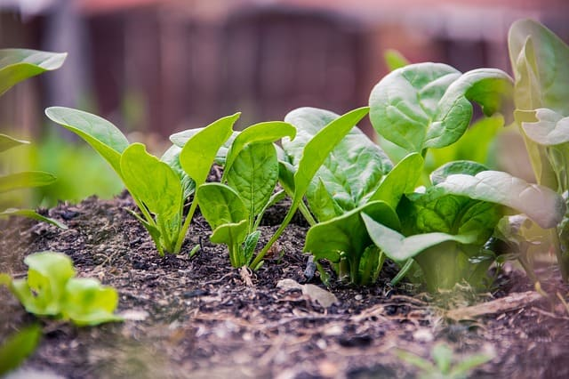 autumn crops spinach