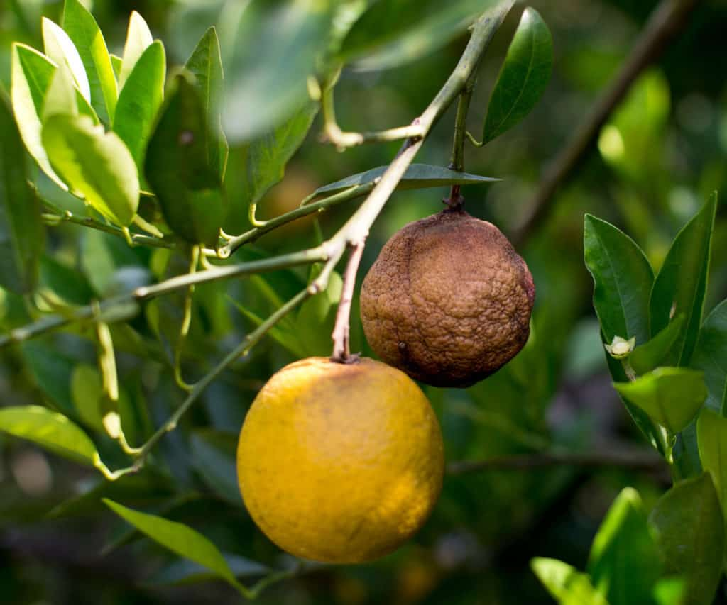 Trees infected with Asian citrus greening disease produce fruits that are green, misshapen and bitter, unsuitable for sale as fresh fruit or for juice. Photo: Supplied/Food For Mzansi