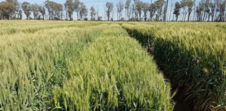Multiplications for Usutu and Selons wheat lines were planted during 2020 amidst the fear and confusion brought on by the Covid-19 pandemic. Photo: Supplied/ARC