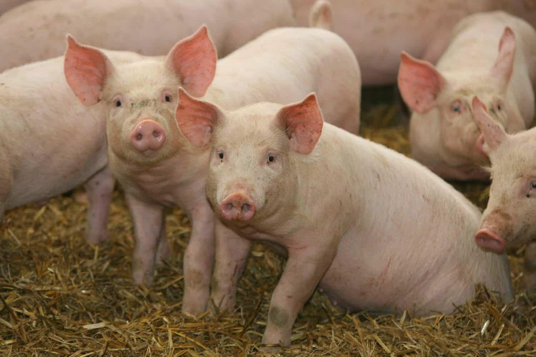 African Swine Fever | ASF