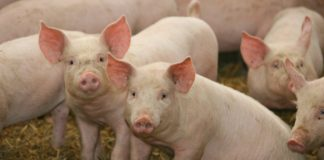 African Swine Fever | ASF