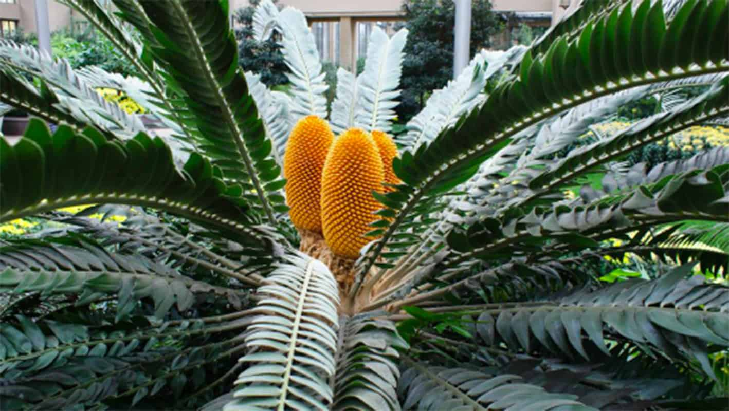 African cycad species are under threat after a new pest has emerged. The seeded plant is in danger of extinction as is, and South Africa has the most diverse population of species in the world. Photo: Supplied/Food For Mzansi
