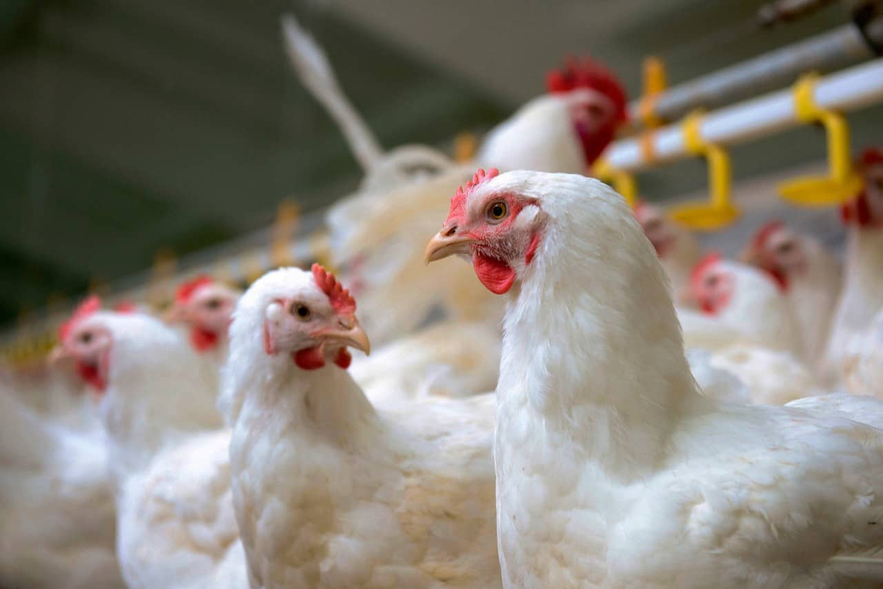 Gauteng veterinary authorities placed a layer farm under quarantine while they are investigating the cause of an avian influenza outbreak. Photo: Supplied/Food For Mzansi