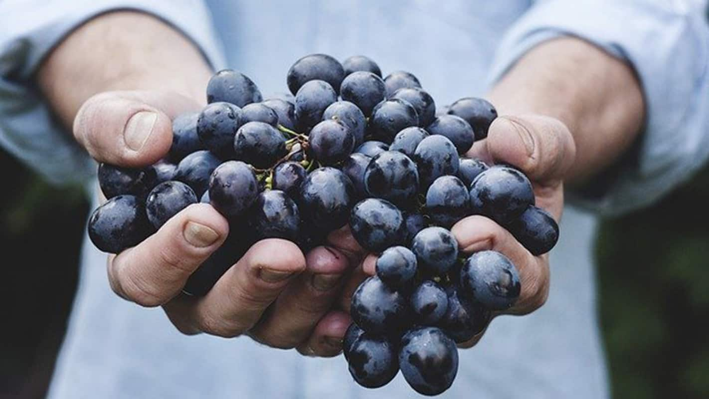 Following a very challenging year, the South African table grape industry is concluding the harvest of a bumper crop in the Western Cape. 73 million cartons are ready for the local and export markets.