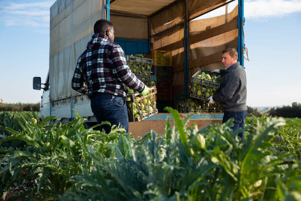 Two workers load artichoke boxes in a truck