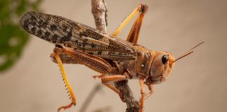 The brown locust found in this area mainly eats grass but will consume any green plants and has been known to decimate maize fields. Photo: SANBI